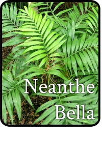 Neanthe-Bella