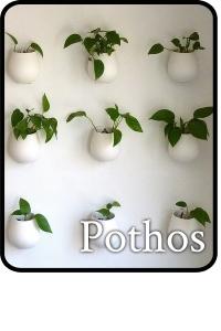 Pothos