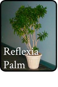 reflexia palm tree