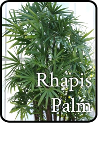 Rhapis-Palm