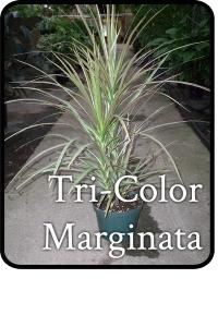 TriColor-Marginata