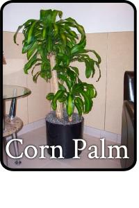 corn palm