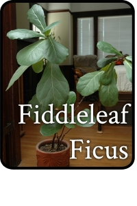 fiddleleaf ficus
