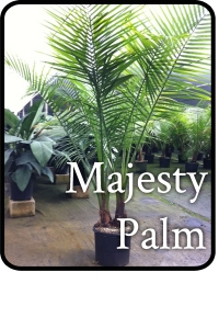 majesty-palm