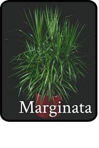 marginata