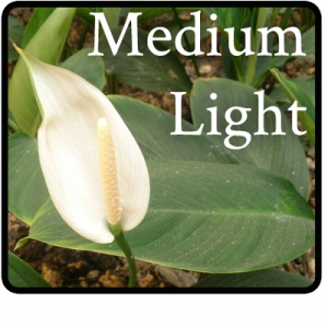 a peace lily plant that is good in medium light